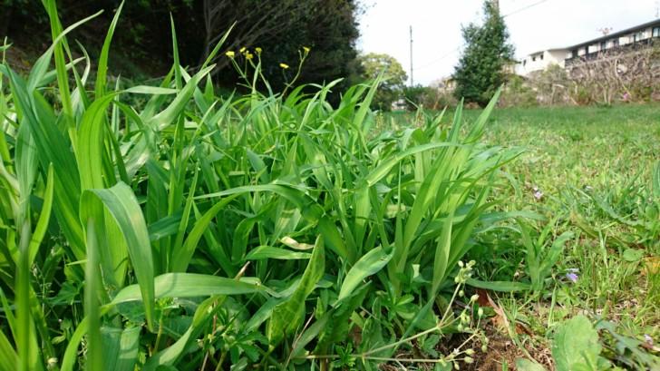 ヤブカンゾウは只の雑草、でも野草だから食べちゃう